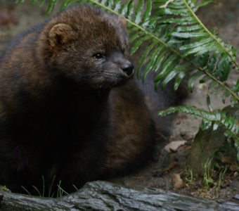 pacific fisher animal